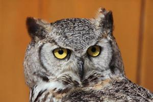 Great horned owl (Bubo virginianus). photo