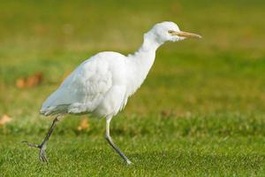 Cattle Egret photo