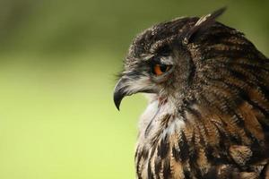 Eurasian Eagle Owl. photo