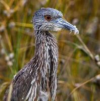 Juvenile Yellow Crowned Night Heron with Feathers in Beak
