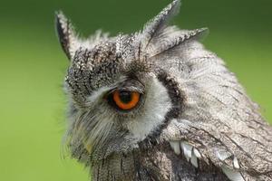 Northern White Faced Owl / Ptilopsis leucotis photo