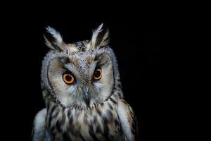 Long-eared Owl, Asio otus photo
