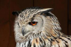 Western Siberian eagle-owl (Bubo bubo sibiricus). photo