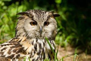 Portrait of eagle-owl