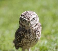 Closeup of burrowing owl