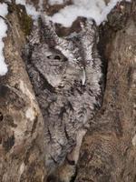 búho chillón en el hueco del árbol foto