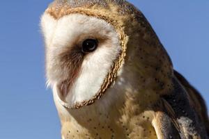 Common Barn Owl in Autumn Setting