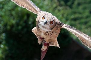 Long-eared Owl photo