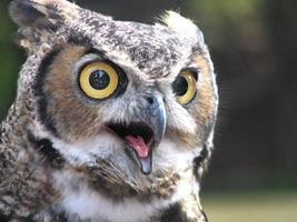 Horned Owl, Beak Open photo