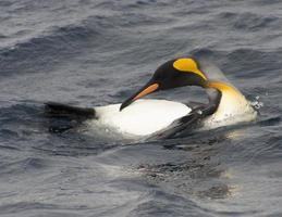 pingüino rey acicalarse foto