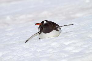 Gentoo penguin bobsleighing down slope, Antarctica