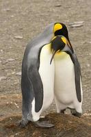 Cuddling Penguins in South Georgia photo