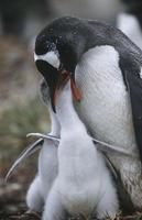 pingüinos gentoo foto