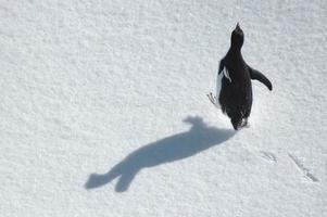Running adelie penguin with free space for text photo