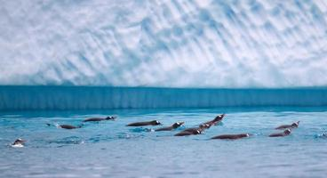 Gentoo Penguins swimming in Antarctic waters