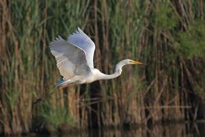 Beautiful specimen of Great White Egret
