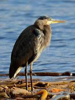 Heron on kelp