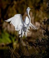 White egret with toes pointed photo