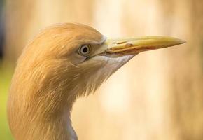 Cattle Egret photo
