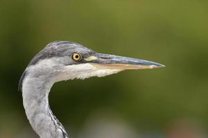 Grey Heron - Portrait photo