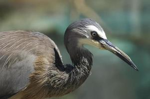 Portrait of a white-faced heron