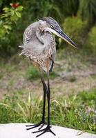 Great blue heron on a background of green grass