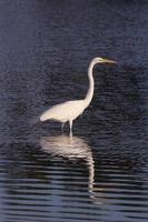 White Crane in Ripple Reflection photo