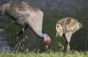 Sandhill Crane with Baby photo