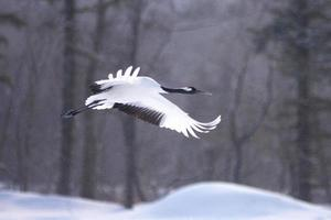 Red-crested white crane in Kushiro-shitsugen photo
