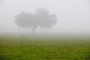 grullas comunes que pastan un día de niebla densa foto
