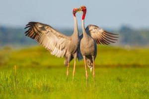 Sweet Eastern Sarus Crane