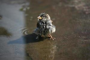 the ruffled Sparrow sitting in a puddle of water