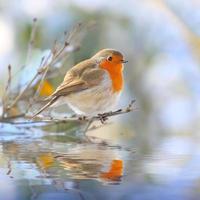 The European Robin.