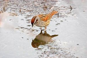 Sparrow looking at it's reflection in a puddle
