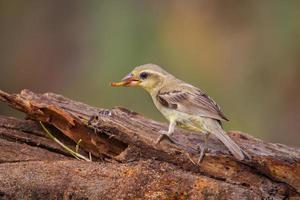 Female Plain-backed Sparrow