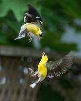 Two Golden finch birds play around and dancing