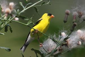 Male American Goldfinch photo
