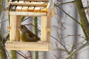 greenfinch at food station