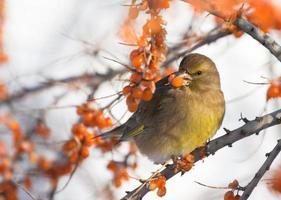 jilguero en la rama de espino amarillo foto