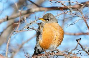 Americn Robin
