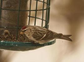 Redpoll in the Winter