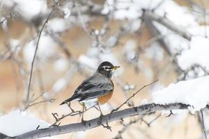 American robin stand on a branch