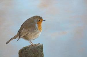 english winter robin on the river