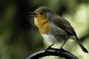 Robin, Erithacus rubecula, small bird with red breast, colour image photo