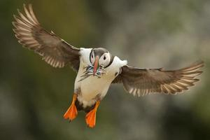 Puffin in flight with sand eels