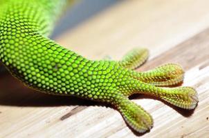 Madagascar day gecko photo