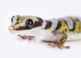 retrato de gecko foto