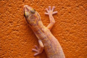 Marbled velvet gecko in central Australia