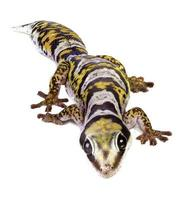 gecko de terciopelo de castelnau foto