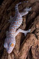 Tokay gecko climbing down tree